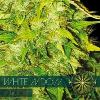 White Widow Autoflowering (Vision Seeds) feminized