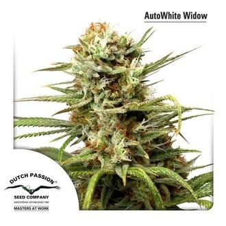 Auto White Widow (Dutch Passion) femminizzata