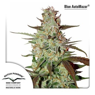 Blue Auto Mazar (Dutch Passion) feminized