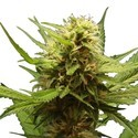 Northern Lights (3 seeds) feminized