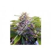 Purple Ryder (Joint Doctor) feminisiert