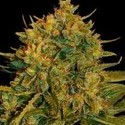 NL x Big Bud Auto (World of Seeds) 1 seed feminized
