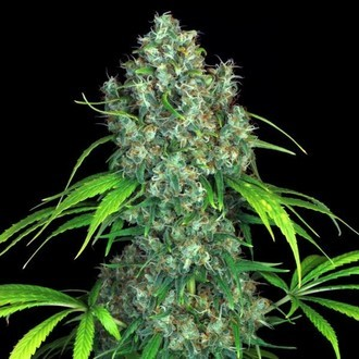 Double Dutch (Serious Seeds)