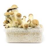 100% Mycelium Kit 'Penis Envy' (Supa Gro)