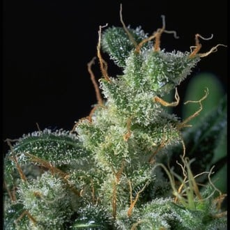 Kali Mist (Serious Seeds)