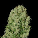 White Russian (Serious Seeds)