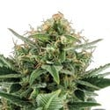 Jack Herer Auto (feminized) 3 seeds