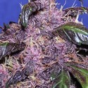 Auto Purple (Original Sensible Seeds) feminisiert
