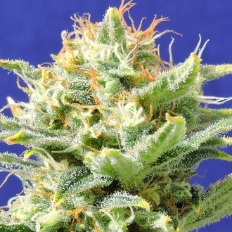 Auto Skunk (Original Sensible Seeds) feminized