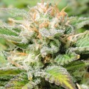 Auto Black JH (Original Sensible Seeds) feminized