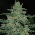 Pure Kush (Original Sensible Seeds) femminizzata