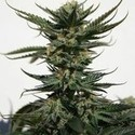 Skunk Afghani (Original Sensible Seeds) feminisiert