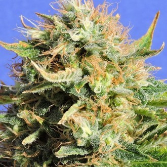 Chronic Lights (Original Sensible Seeds) Femminizzata