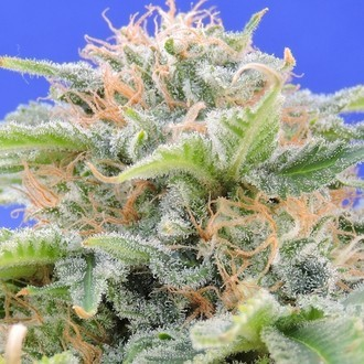 Black Gum (Original Sensible Seeds) feminisiert