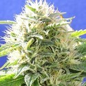 Black Destroyer (Original Sensible Seeds) feminisiert