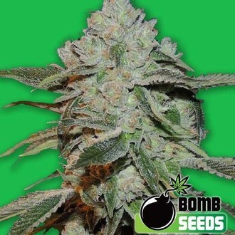 Atomic (Bomb Seeds) feminisiert