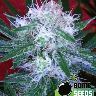 Auto Bomb (Bomb Seeds) femminizzata