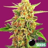 Cherry Bomb (Bomb Seeds) feminisiert