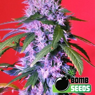 Berry Bomb (Bomb Seeds) femminizzata