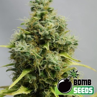 Big Bomb (Bomb Seeds) feminisiert