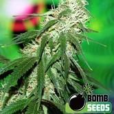 Buzz Bomb (Bomb Seeds) Femminizzata