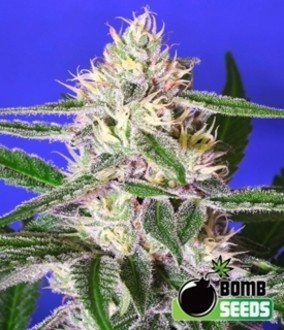 Cheese Bomb (Bomb Seeds) feminisiert
