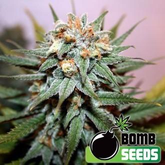 Hash Bomb (Bomb Seeds) feminisiert