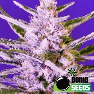 Ice Bomb (Bomb Seeds) feminisiert