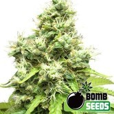 Medi Bomb 1 (Bomb Seeds) feminized