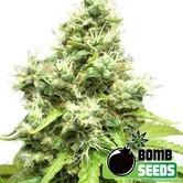 Medi Bomb 1 (Bomb Seeds) femminizzata