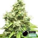 Medi Bomb 1 (Bomb Seeds) feminisiert