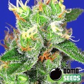 Medi Bomb 2 (Bomb Seeds) femminizzata