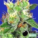 Medi Bomb 2 (Bomb Seeds) feminisiert