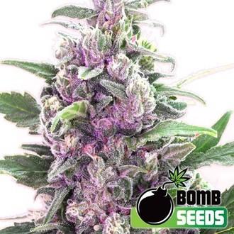 THC Bomb (Bomb Seeds) feminized