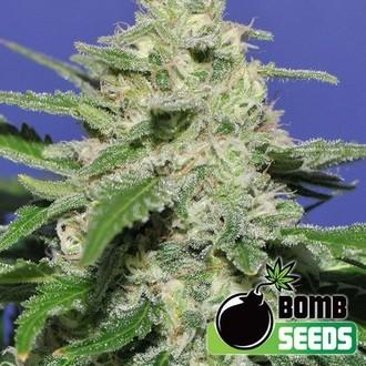 Widow Bomb (Bomb Seeds) feminisiert