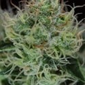Agent Orange (TGA Subcool) regular