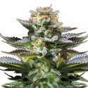 Super Silver Haze (Feminized) 3 Seeds
