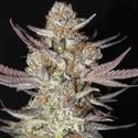 Marionberry Kush (TGA Subcool) regolare