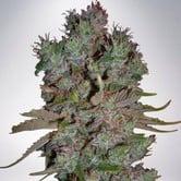 Auto Blueberry Domina (Ministry of Cannabis) feminisiert