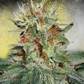 Auto Mary Jane (Ministry of Cannabis) feminisiert