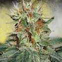 Auto Mary Jane (Ministry of Cannabis) feminized