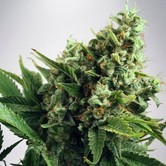 Auto White Widow (Ministry of Cannabis) femminizzata