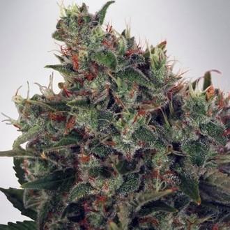 Ultra White Amnesia (Ministry of Cannabis) feminisiert