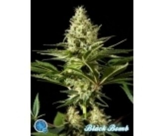 Free seed (Philosopher Seeds) feminized