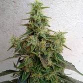 Dieseltonic (Resin Seeds) feminisiert