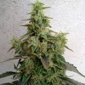 Dieseltonic (Resin Seeds) feminized