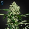 Northern Lights Autoflowering (Greenhouse Seeds) feminisiert