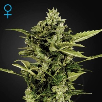 Auto-Bomb Autoflowering (Greenhouse Seeds) feminisiert