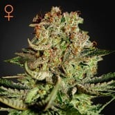 Super Bud (Greenhouse Seeds) feminized