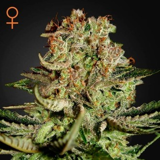 Super Bud (Greenhouse Seeds) feminisiert